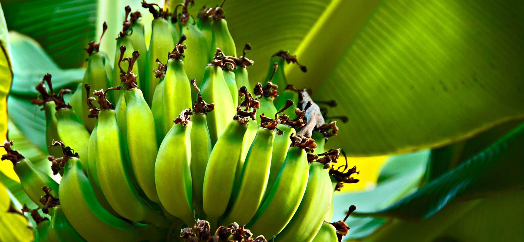 Банановая диета