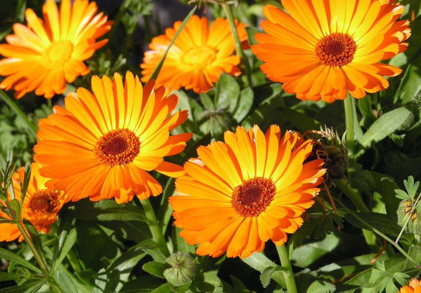 Когда собирать цветки календулы